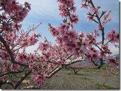 桃‐摘花前
