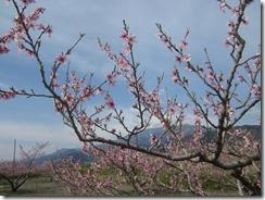 桃‐摘花後
